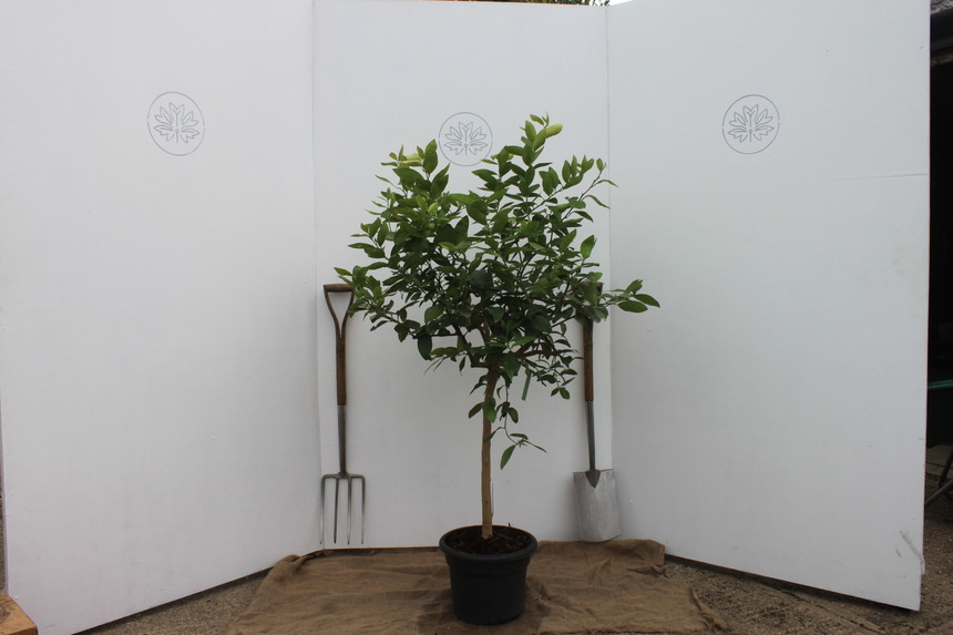 Growing Citrus Trees in the UK
