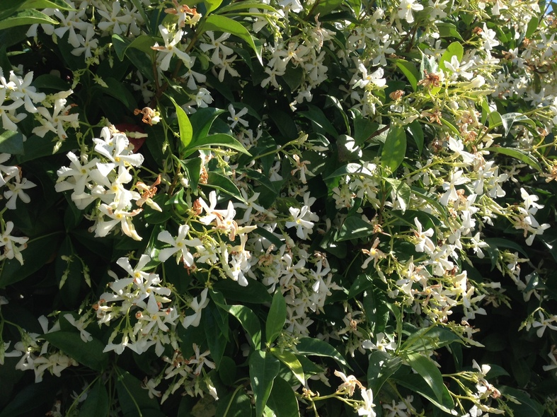 Trachelopsermum jasminoides in the Italian Alps