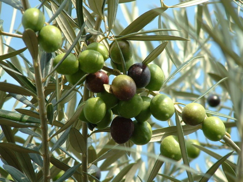 Olea europaea olive tree care todd 39 s botanics for Olive arbequina care