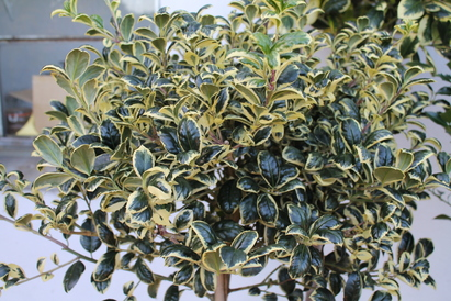 Holly Trees, Not Just For Christmas