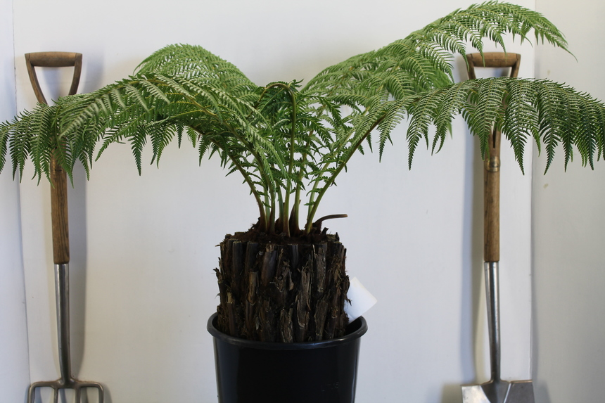 Tree Fern Wrapping, Dicksonia Winter Protection