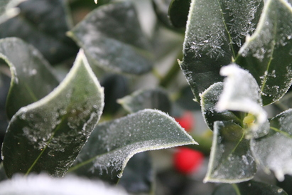 Nearly time for the winter Holly Trees